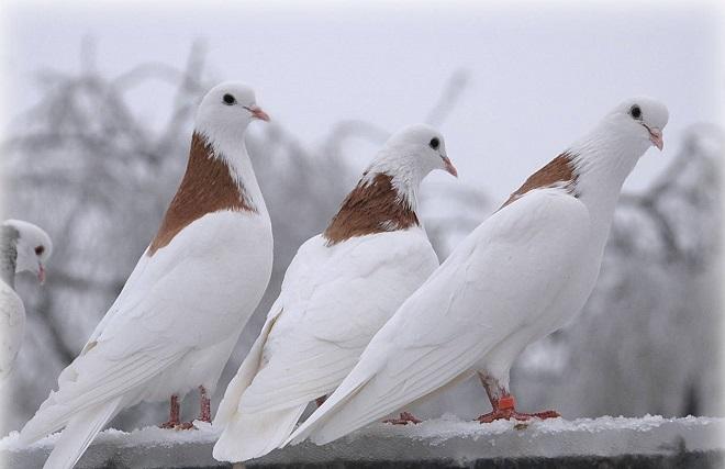 Пермские гривуны - высоколетные голуби