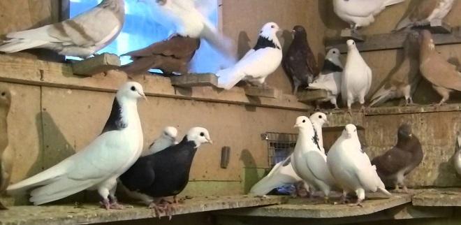 Гривуны всегда возвращаются на голубятню