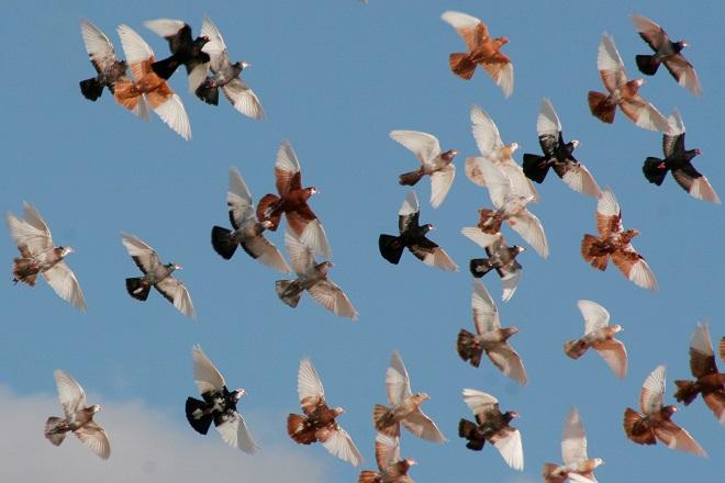 Голуби гривуны летают очень высоко