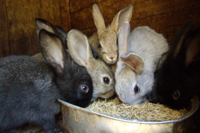 Кролики поедают питательные гранулы