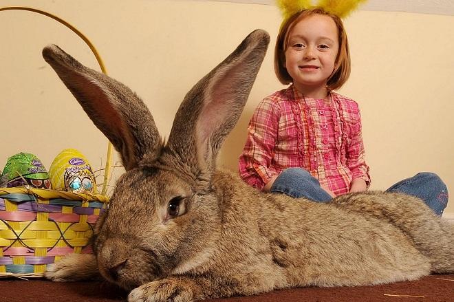 Самый большой кролик по кличке Дарий