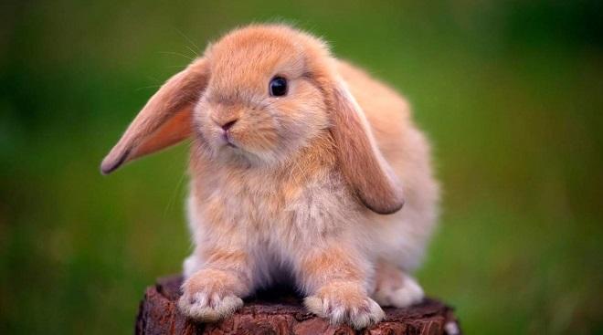 Распознать крольчонка декоративной породы поможет знание отличий