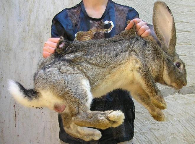 Кролики в клетках Михайлова быстро растут