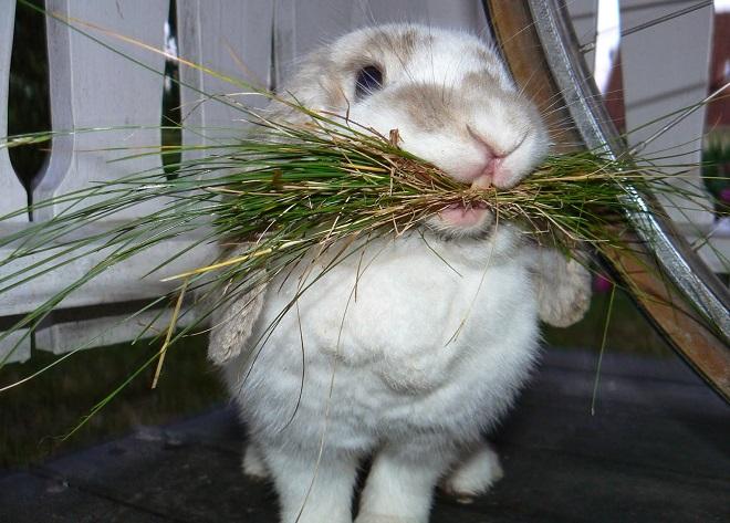 Перед случкой крольчихе обеспечивают качественное питание