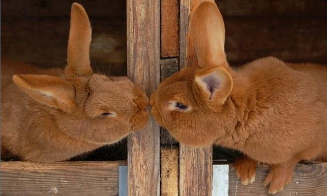 Крольчиха должна симпатизировать самцу