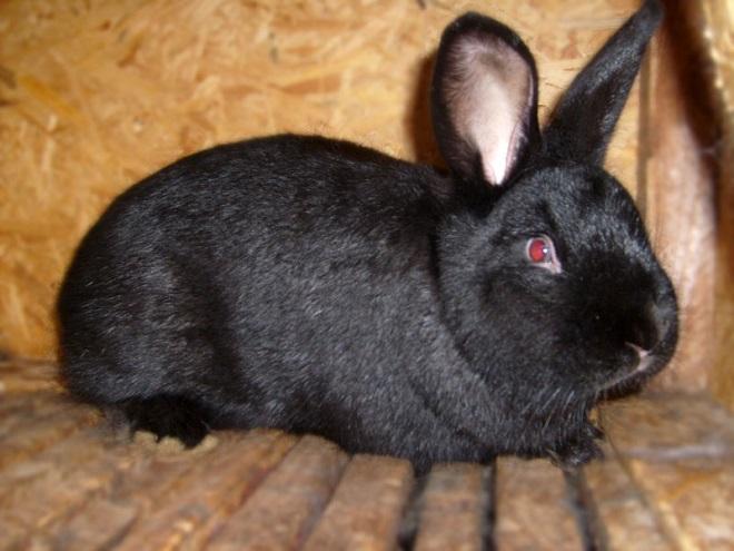 Черные новозеландские кролики меньше остальных