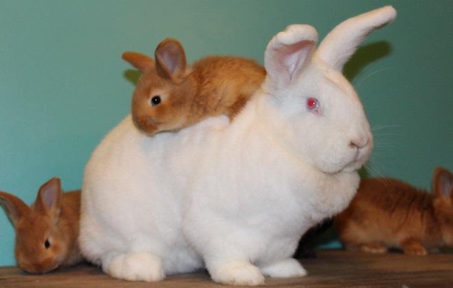 Неприхотливые новозеландские кролики приживаются везде