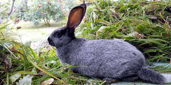 Мех серебристого кролика не подкрашивают