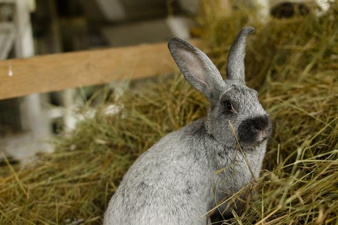 Уши, лапы и хвост обычно темнее всего тела