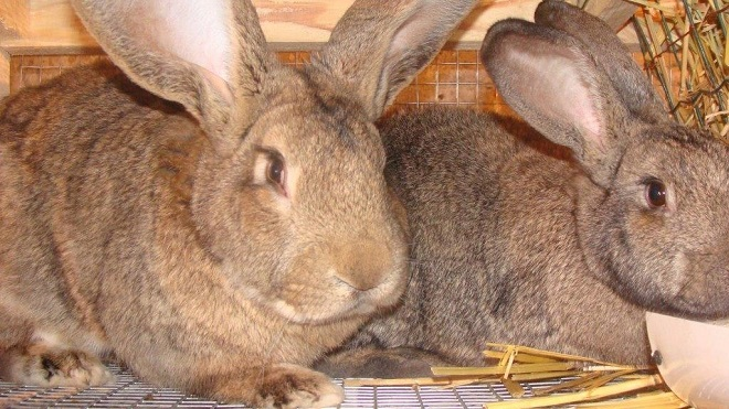 У кроликов породы бельгийский великан - богатырский вид