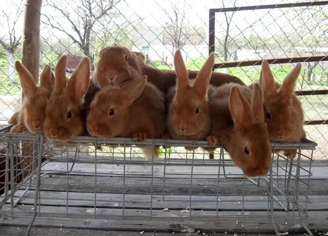 Кроликов в Беларуси разводят уже несколько веков