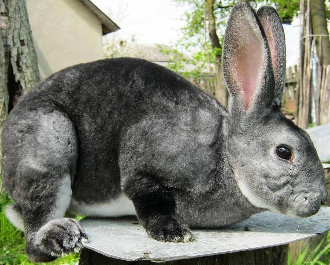 У кролика рекса шикарный мех