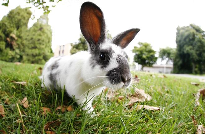 Миксомитоз кроликов не опасен для человека
