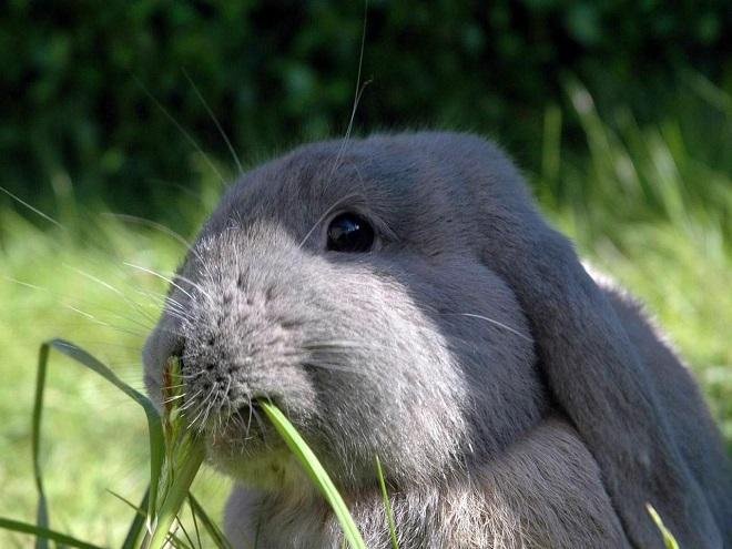 Кролики быстро набирают вес, когда питаются горохом