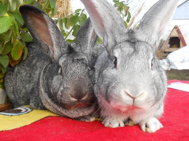 Кролики отлично плодятся, но и у них не все идет гладко