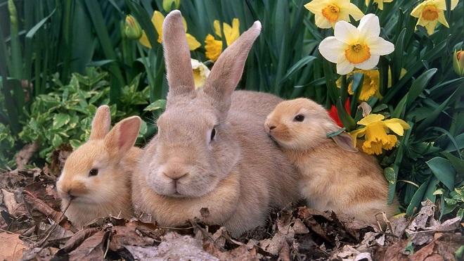Раздраженная крольчиха может раскидать новорожденных крольчат