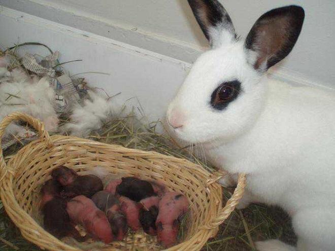 Материнский инстинкт у крольчих не всегда берет верх