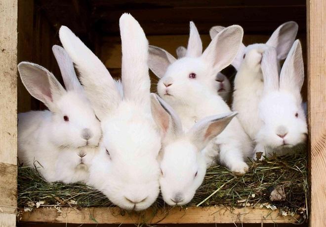 Чаще всего крольчихи съедают помет при первой беременности