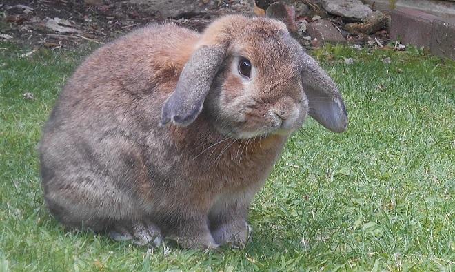 У кроликов застаивается непереваренная пища