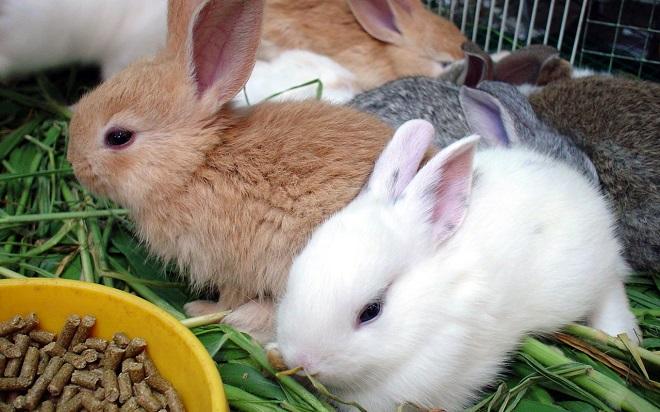При поносе кормить кролика можно только сеном и комбикормом