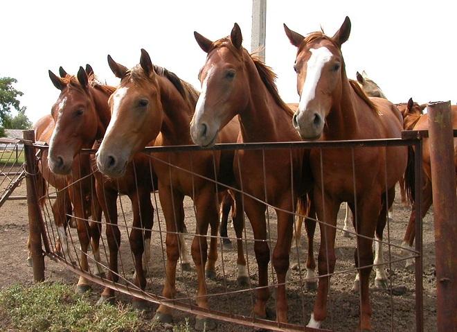 Для выращивания на мясо лучше подходят лошади специальных пород