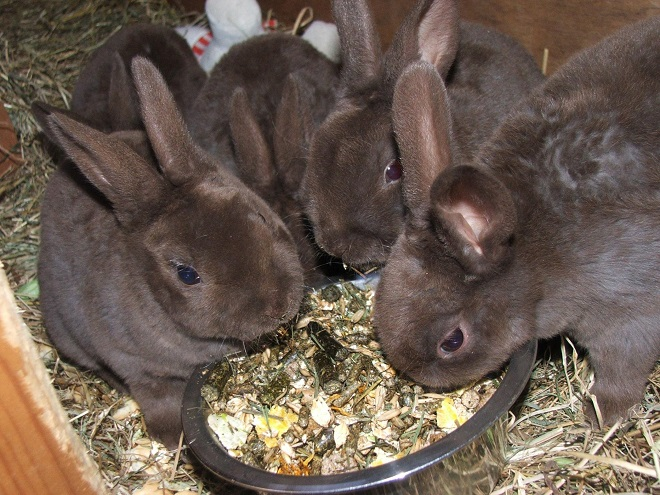 У кроликов этой породы хороший аппетит