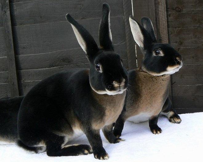 Плюшевая шубка этих кроликов сделала их популярными