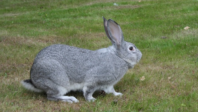 Кролики породы шиншилла выносливые и живучие