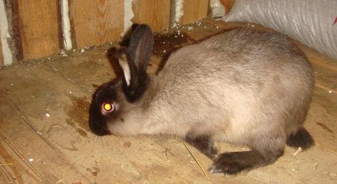 Вылечить геморрагическую болезнь у кроликов невозможно