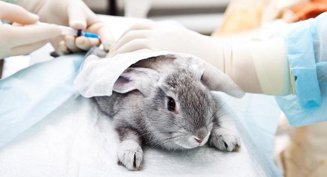 Регулярная вакцинация с большой вероятностью защищает кролика от ВГБК