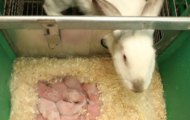 Крольчиха кормит малышей в тишине и темное