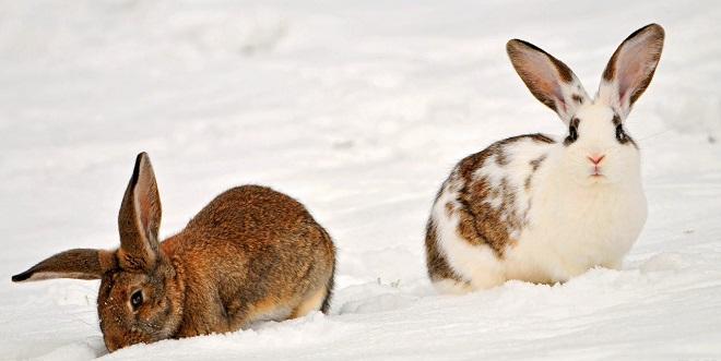 Снег подходит кроликам для утоления жажды