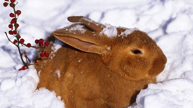 Усиленное питание и утепленные жилища помогают кроликам зимой
