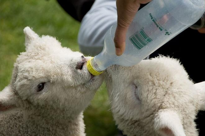 Понос у козлят лечат народными средствами и медикаментами