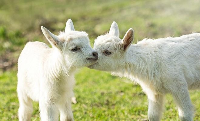 Понос может подорвать иммунитет козлят