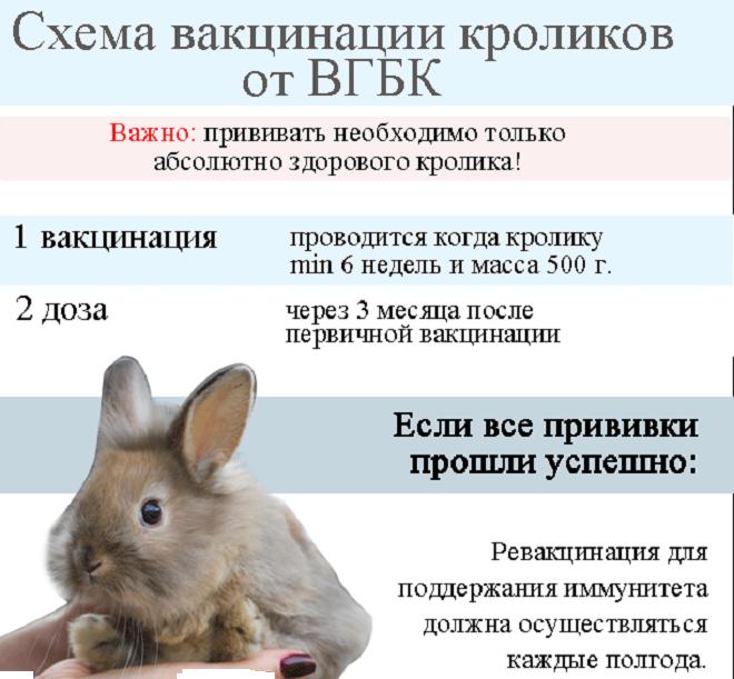 Следование графику прививок защитит кроликов