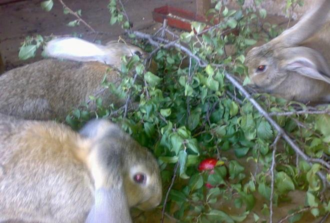 Ветки разных деревьев полезны кролику по-своему