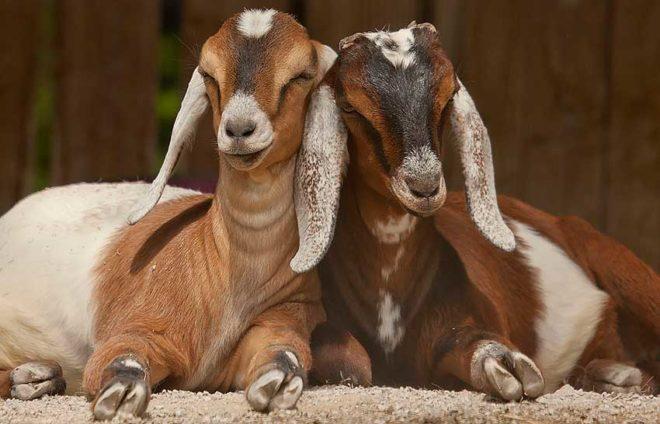 Пара нубийских коз