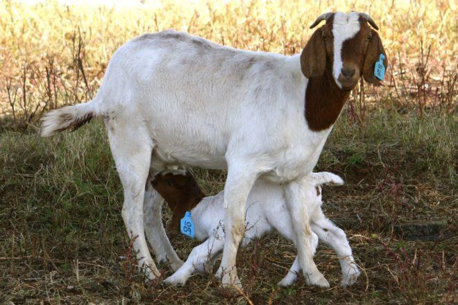 Правильная подготовка козы к появлению потомства и будущего материнства очень важна