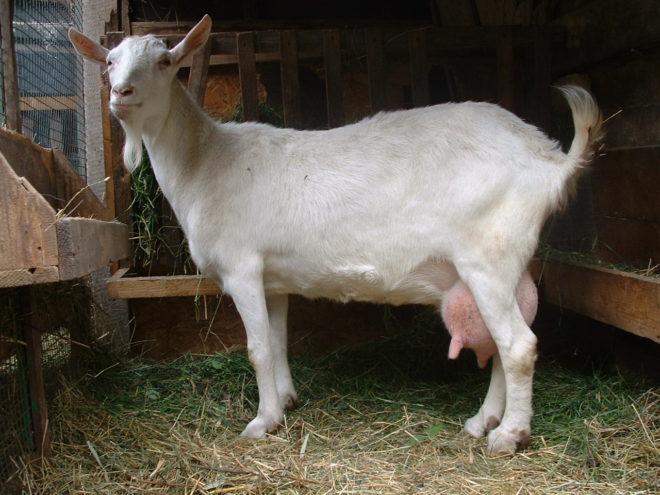 Перед окотом козу держат в чистом и свободном хлеву