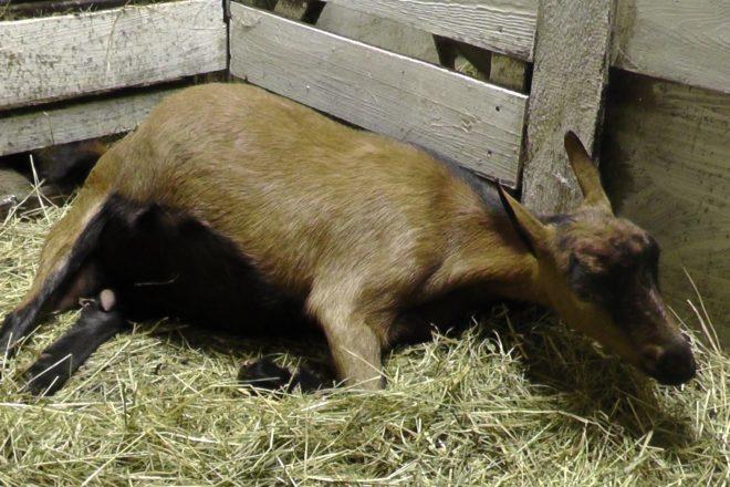 При приближение родов коза ведет себя очень тревожно