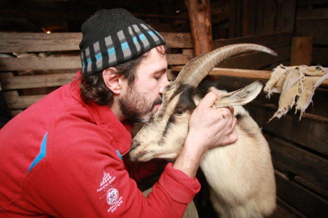 Помощь человека очень важна для козы после окота