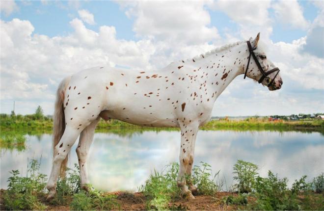 Лошадь чубарой, или пятнистой масти