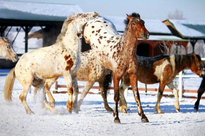 Чубарые лошади с характерными признаками масти