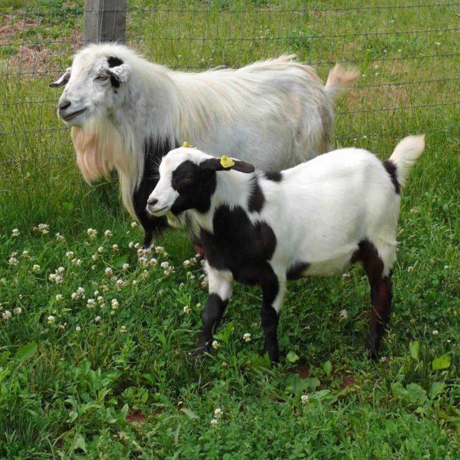 Дружелюбие и ум являются особенностями миотонической породы коз