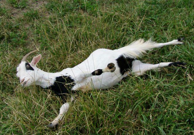 Падение в обморок не вредит здоровью козы