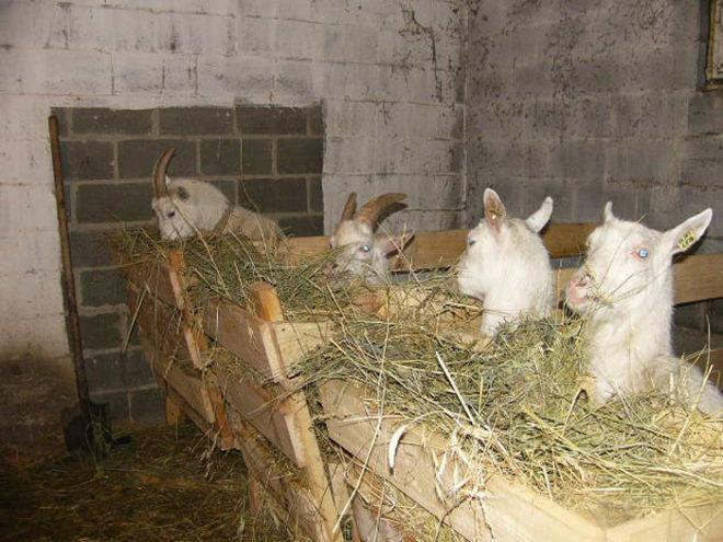 Не правильное кормление козы может стать причиной появления диареи