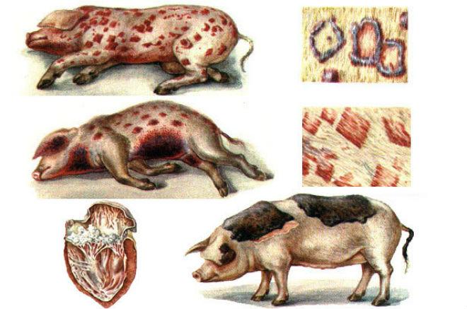 Пятна по телу - основной симптом рожи у свиней