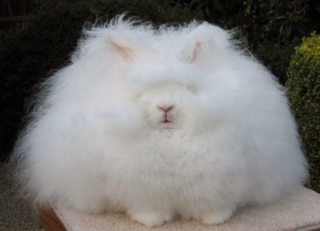 Кролик породы ангорский гигант, шерсть которого достигает 20 – 25 см.