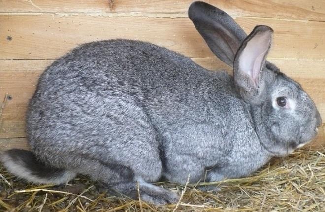 Выносливый и неприхотливый кролик породы советская шиншилла